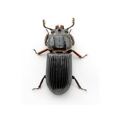 ground beetle on a white background