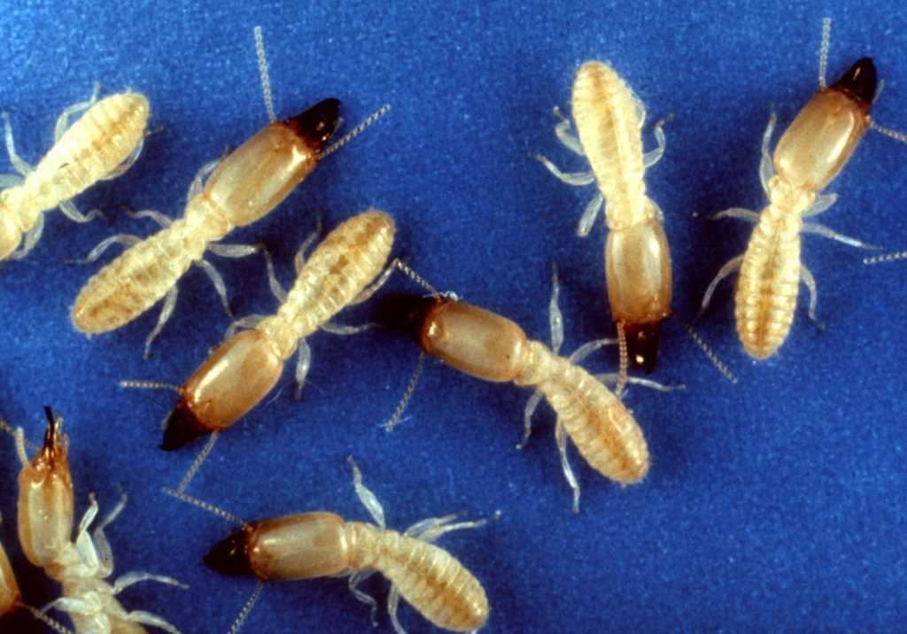 Termite Risk Map Of The United States Pest Control Services For - Us termite map