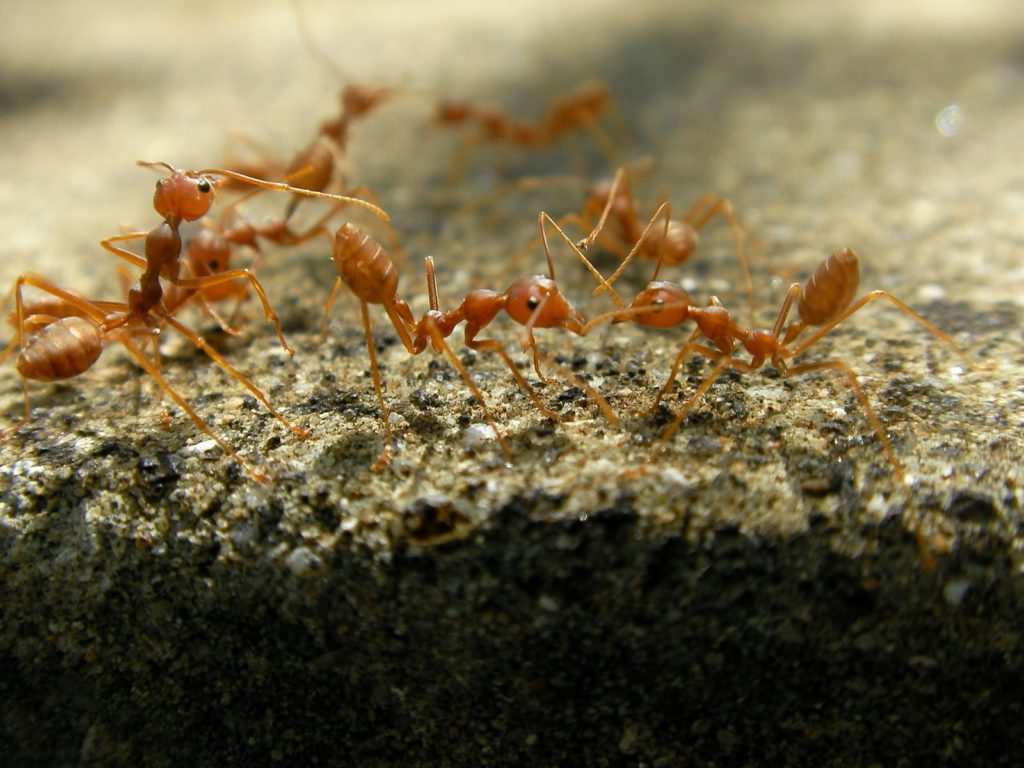 Fire ants crawling on the ground.