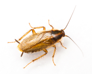 A German Roach