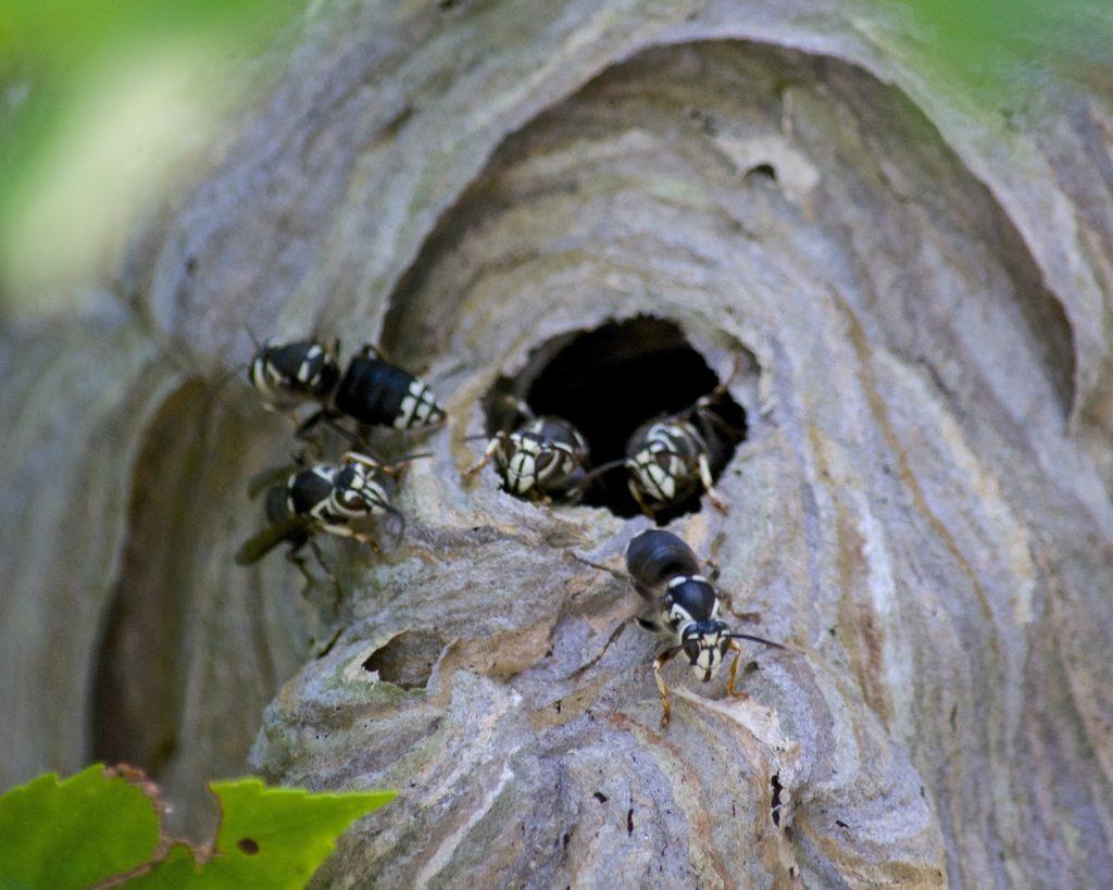 Hornets entering a hornet nest.