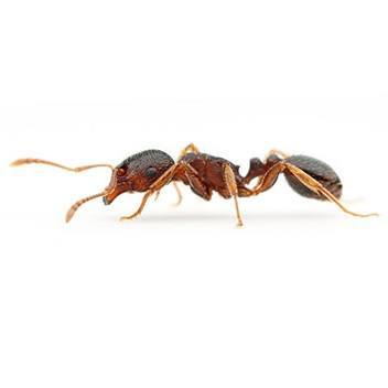 ants prevention amp identification insight pest control