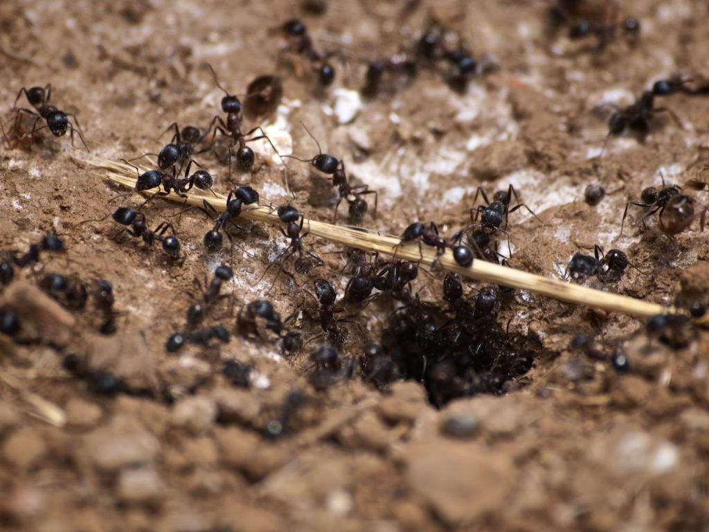 Photo of a nest of carpenter ants.