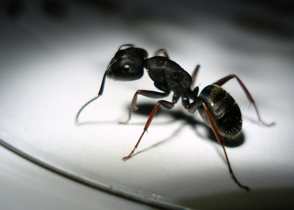 Photo of a carpenter ant.