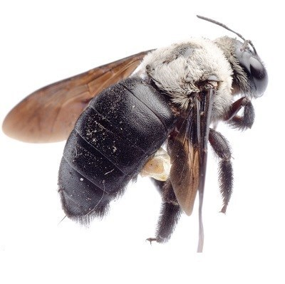 Carpenter Bee Picture