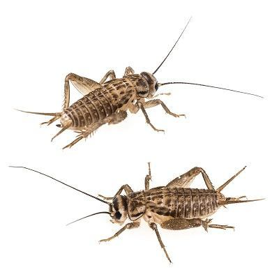 two crickets on white background