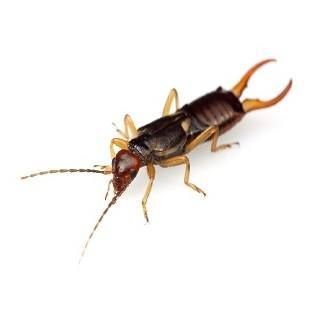 earwig on white background