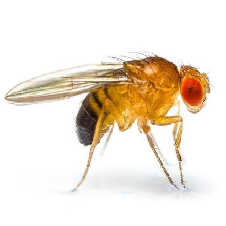 fruit fly on white background