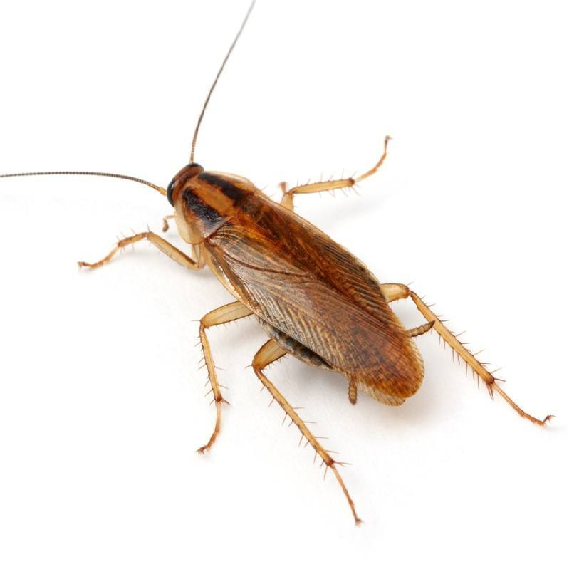 What do small cockroaches look like