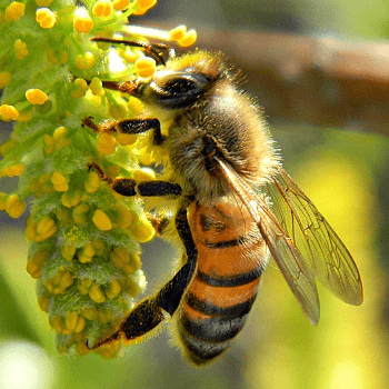 Honey Bee Picture
