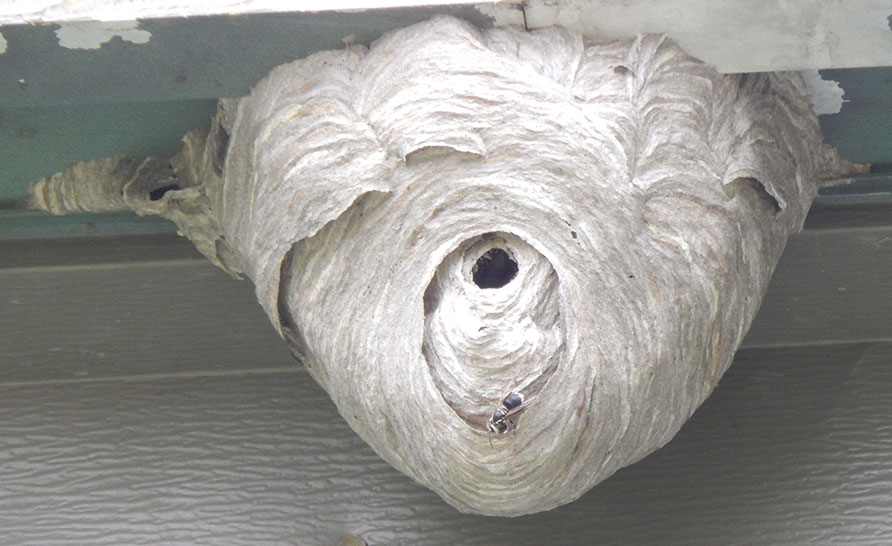 Hornets Nest Hanging from Garage