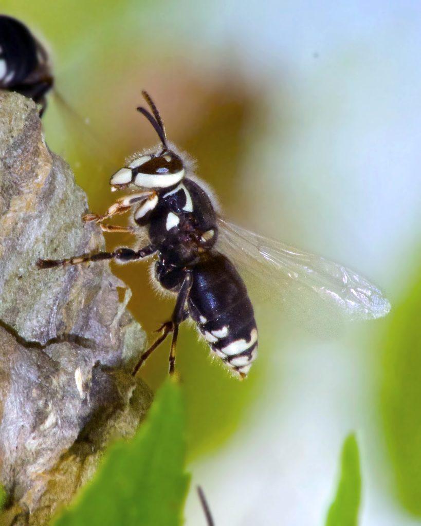 Photograph of a hornet.