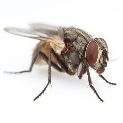 house fly on white background