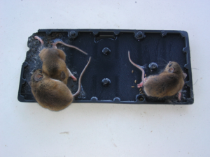 How to Get Rid of Mice in Your Home Mouse Control