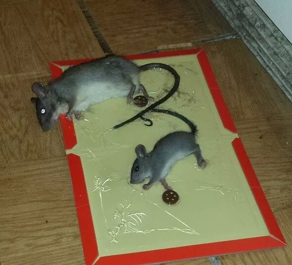 How to Get Rid of Mice in Your Home - Mouse Control