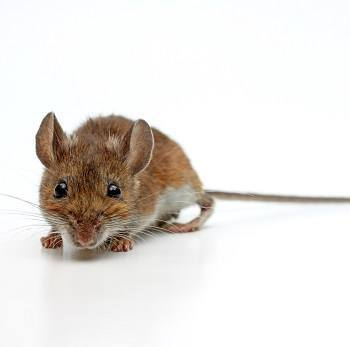Types Of Rodents Common Rodents Insight Pest Solutions