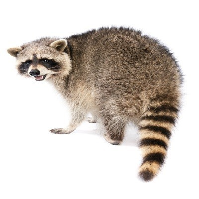 raccoon on white background