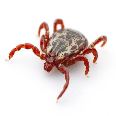 Adult ticks - small insects that live by feeding on blood mammals. Tick bites transmit disease.