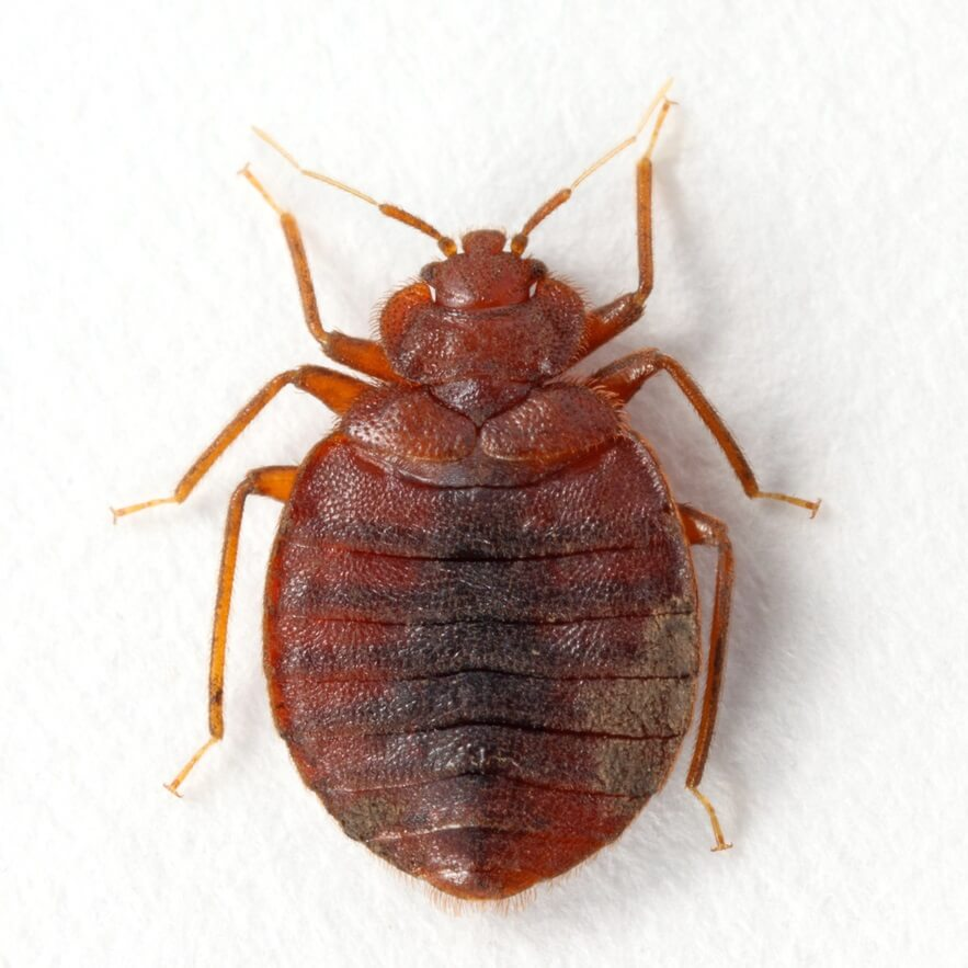 Bed bug image on white background