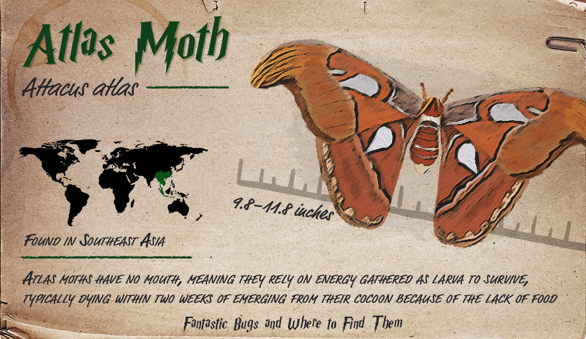 Infographic detailing information about the Atlas Moth