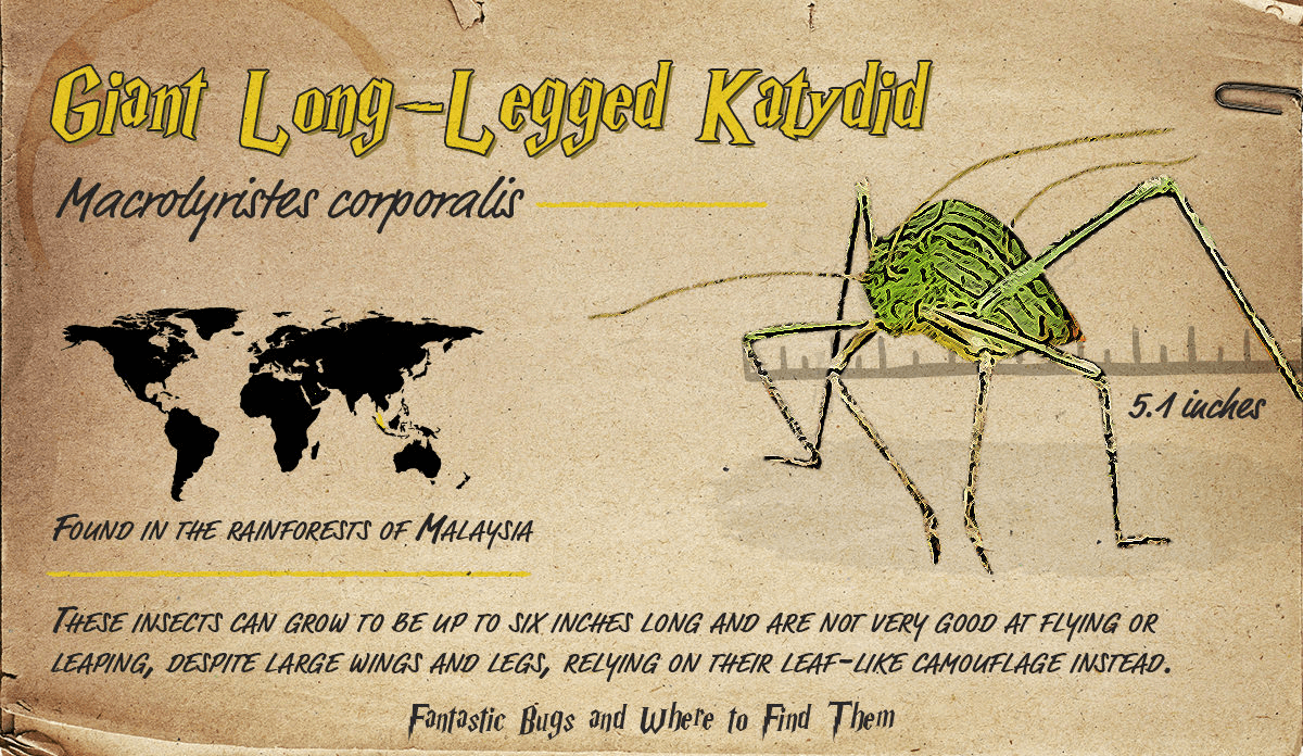 Infographic detailing information about the Giant Long-Legged Katydid