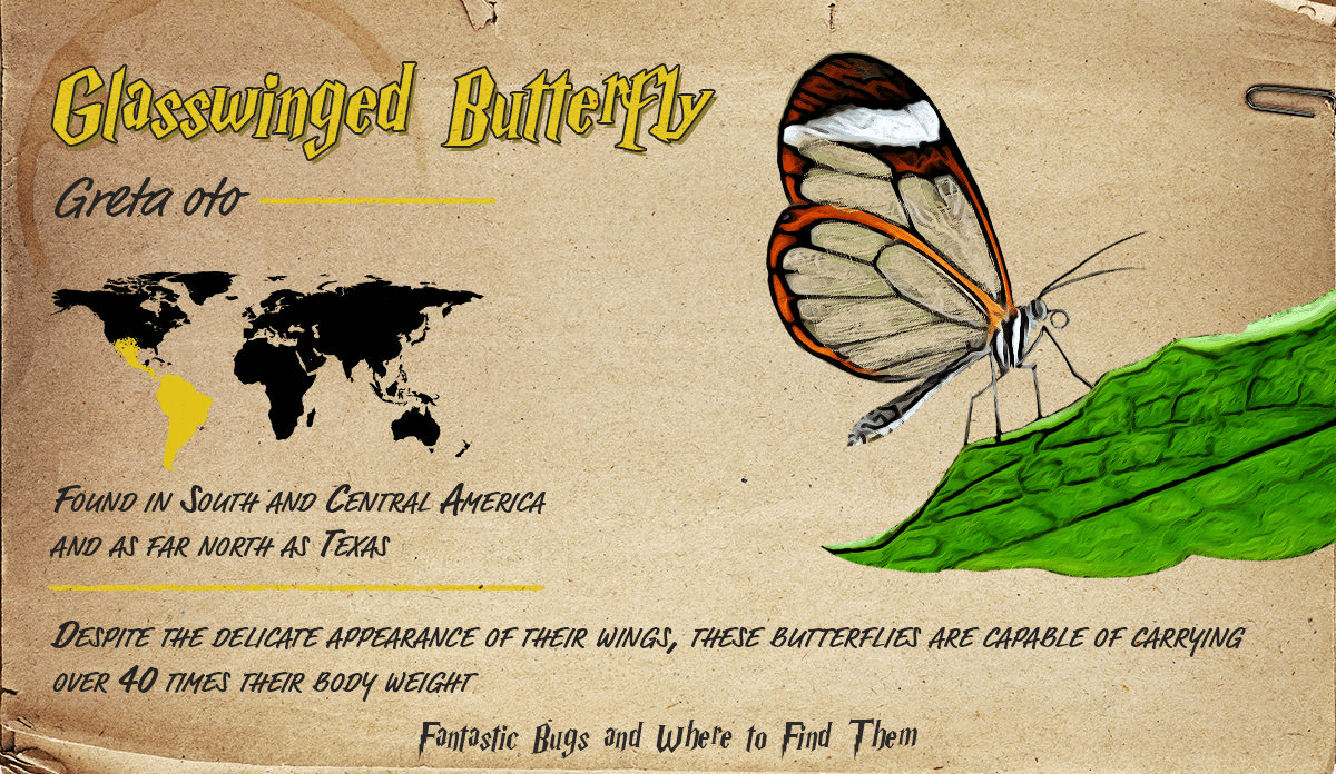 Infographic detailing information about the Glasswinged Butterfly