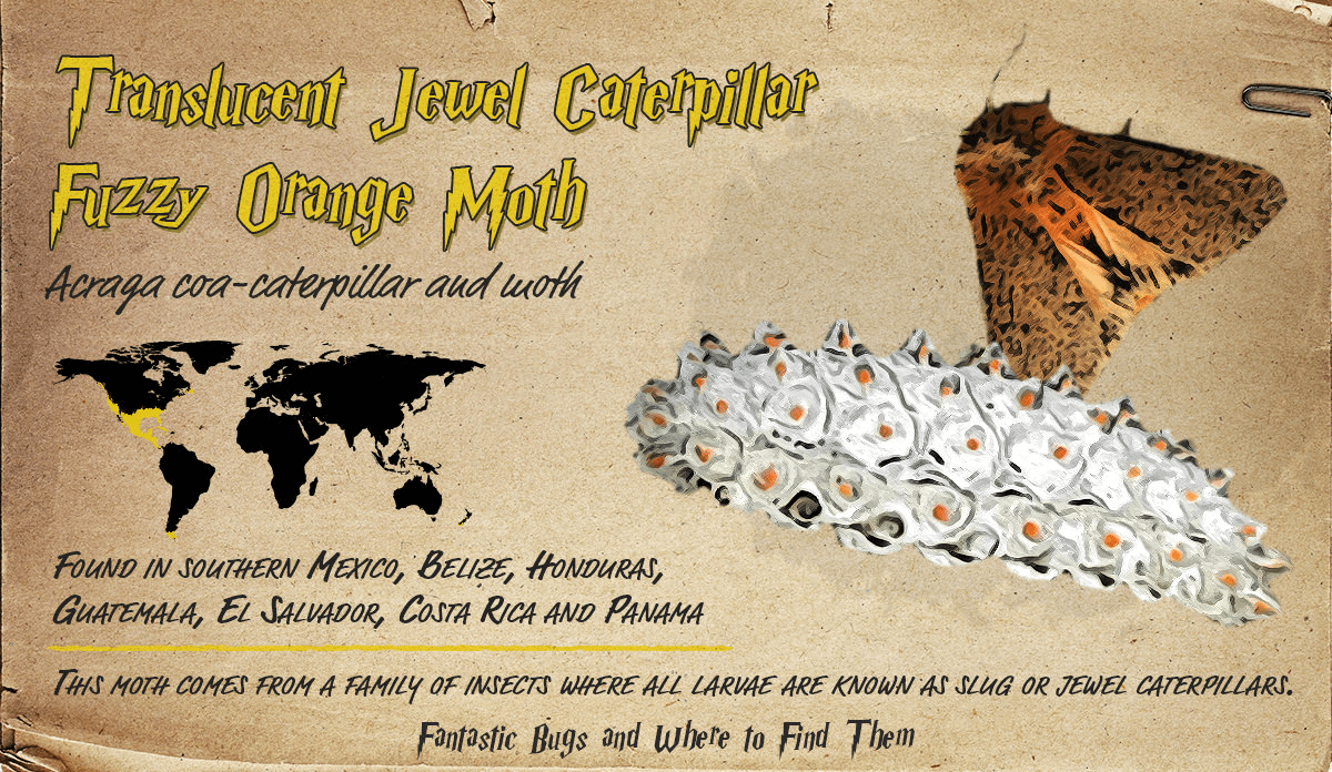 Infographic detailing information about the Translucent Jewel Caterpillar and Fuzzy Orange Moth