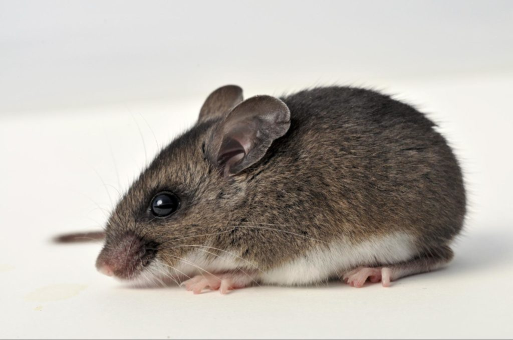 deer mouse example