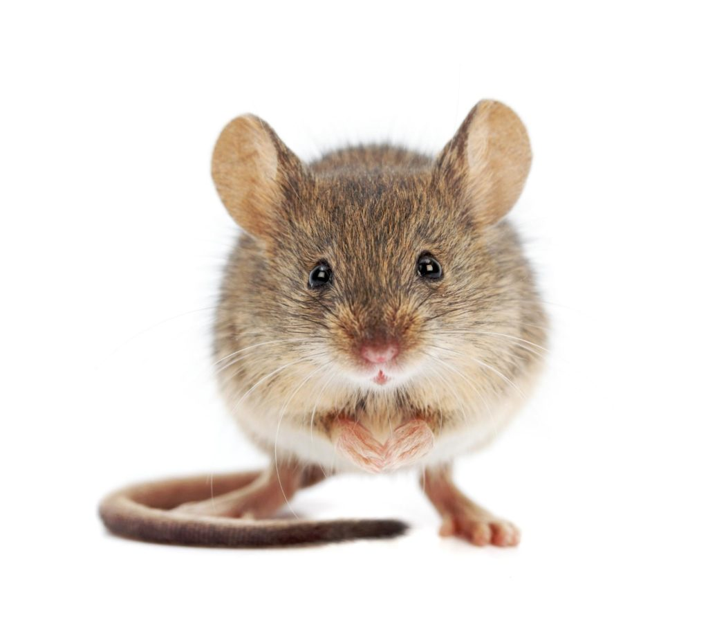 house mouse example